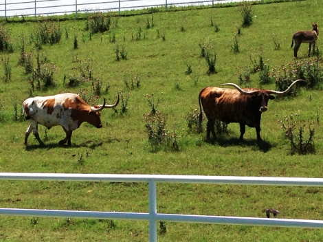 Longhorn cattle behind the gas station -- for no good reason