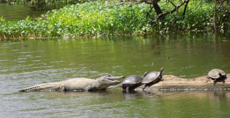As the alligator got closer, the turtles dove into the water.