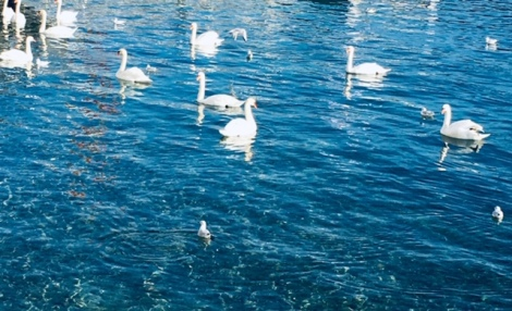 Swans in Lake Geneva