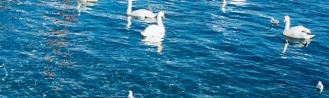 Swans in Lake Geneva