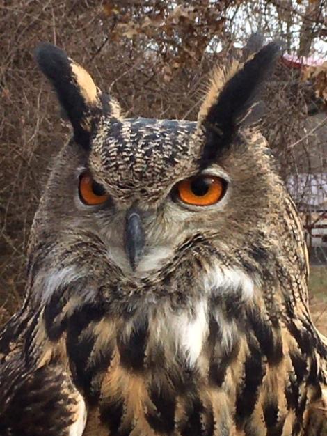 Jim-Henson-Muppets-Owl-Ohio-School-Falconry