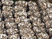 Honey Horn Oyster Shell Recycling